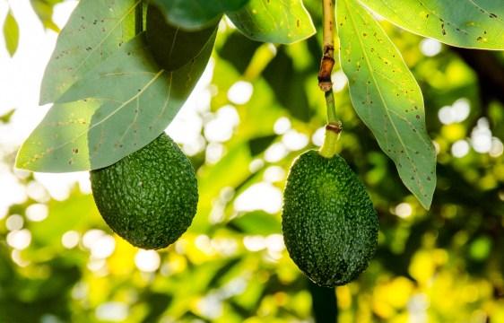 Foto von zwei Avocados an einem Avocadobaum.