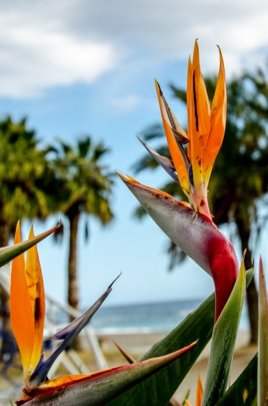 Foto einer Paradiesvogelblume.