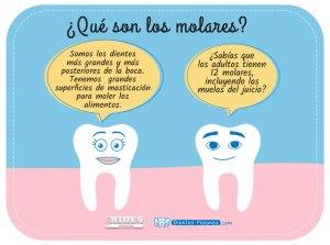 ¿Sabes qué son los molares?