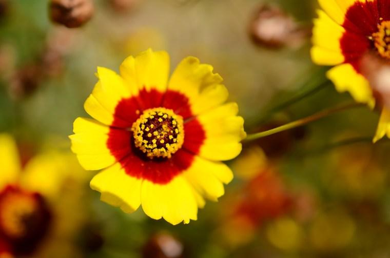 endemische Blume