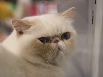 Fokkers kortsnuitige katten gewaarschuwd