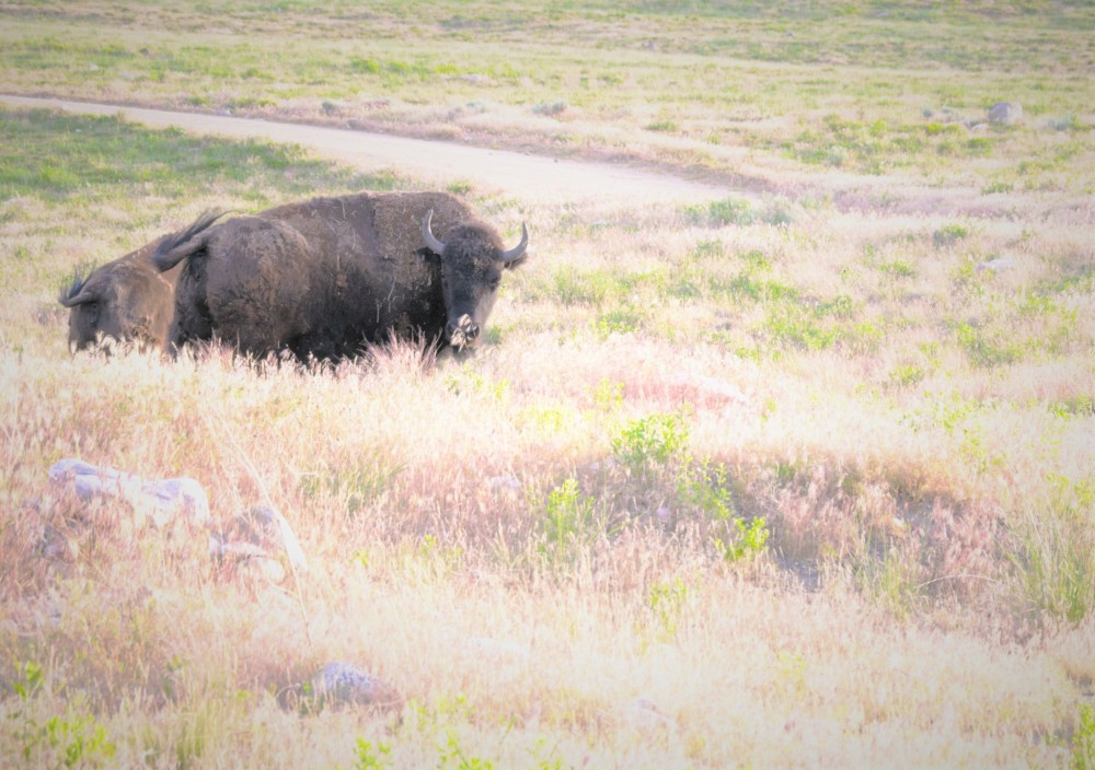Look at me buffalo