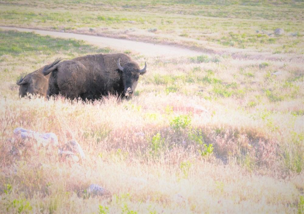 Look at me buffalo