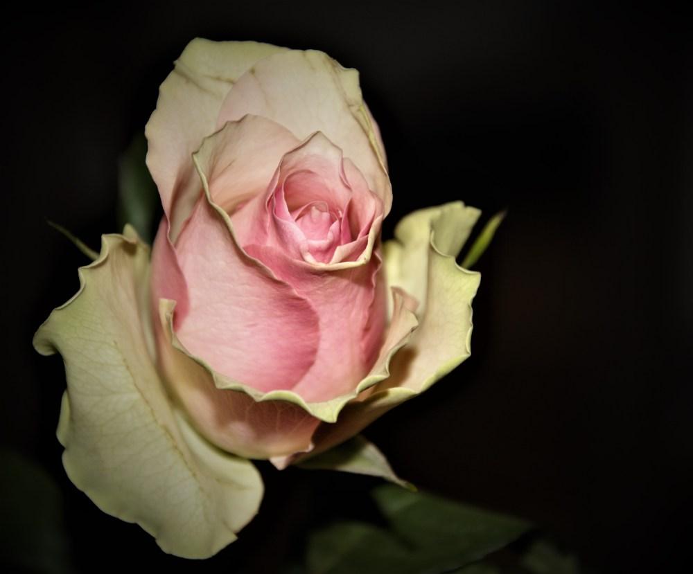 valentines-rose
