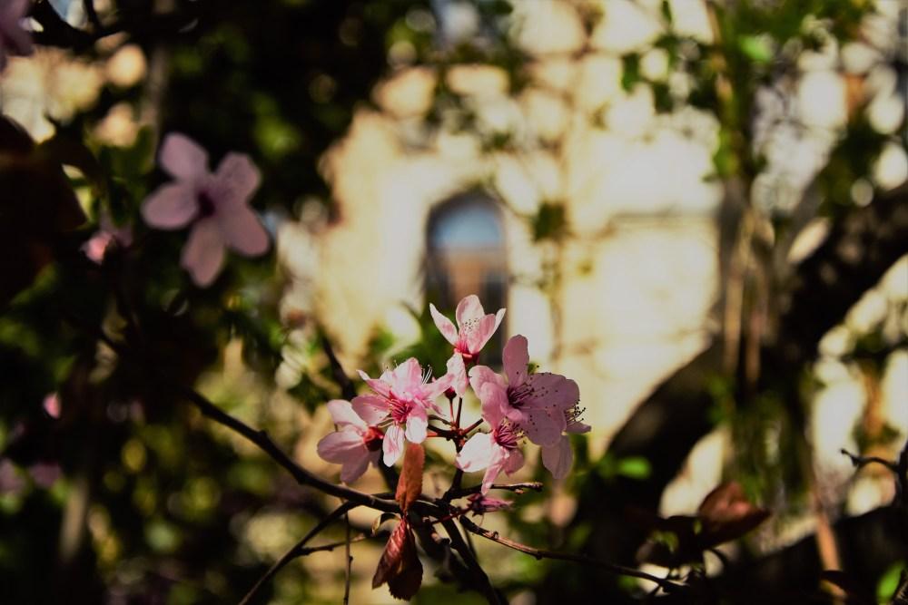 Kirschblüte 2020 © Silvia Springer
