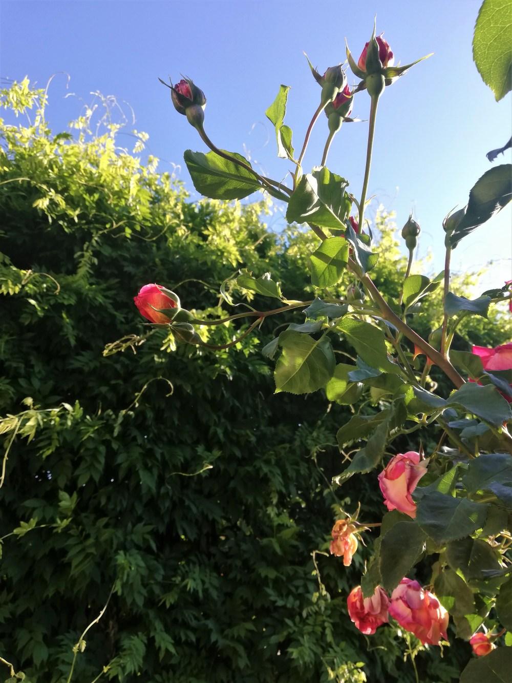 Rote Rosen unter blauem Himmel © Silvia Springer