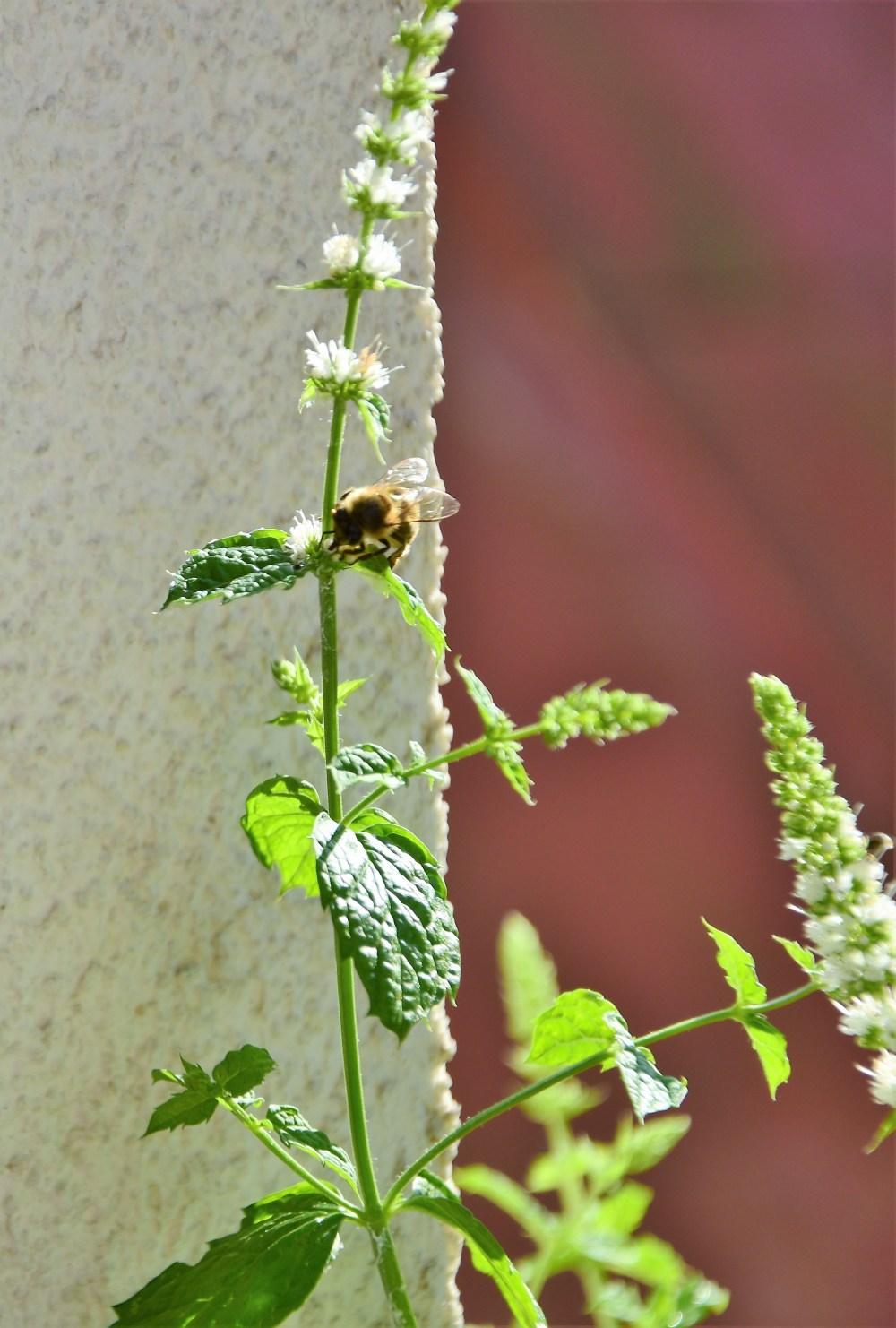 Bienchen auf Minze © Silvia Springer