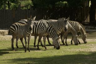 Zebra MG 260912 (2)