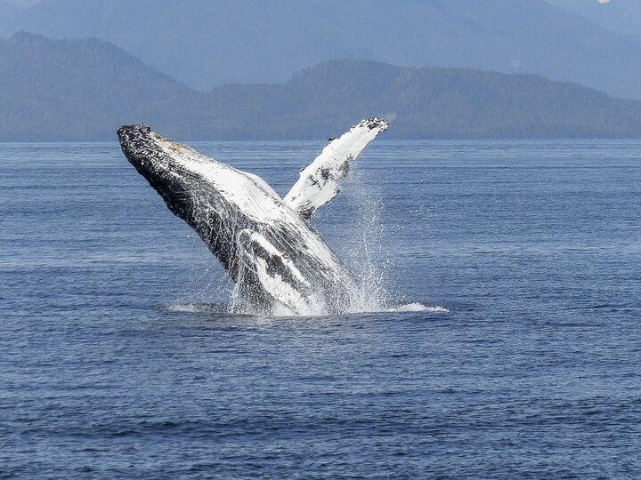 ballena cabeza de arco