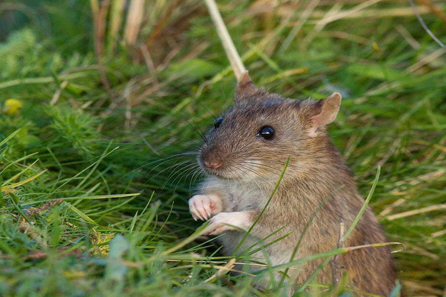 Chuột và những khả năng đáng sợ