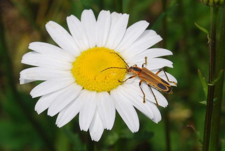7 Loài côn trùng thụ phấn hoa ngoài ong và bướm