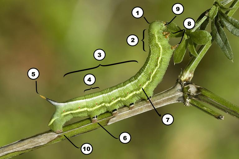 Các bộ phận trên cơ thể sâu bướm
