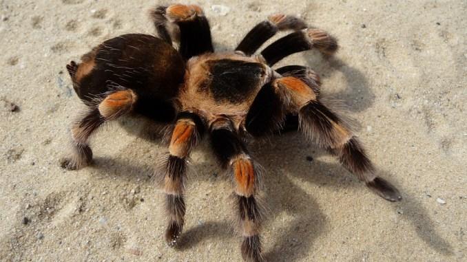 nhen-tarantula