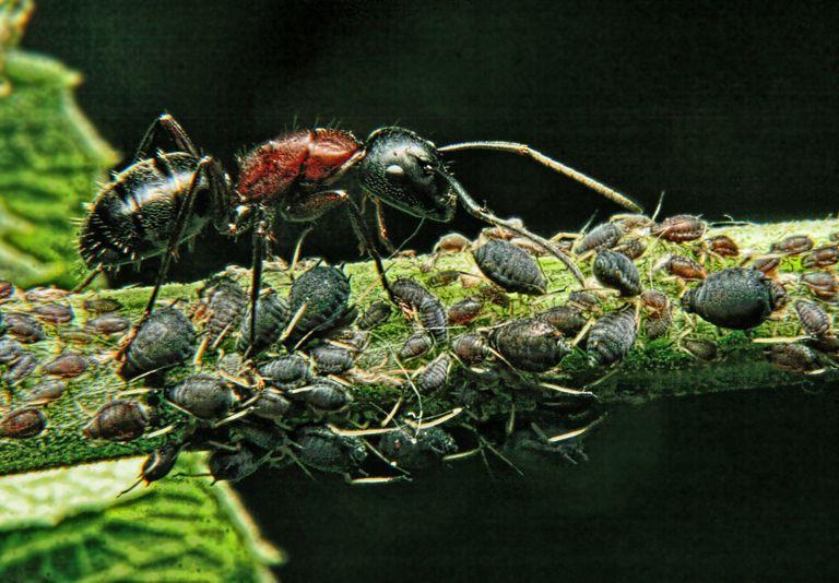 Kiến và rệp giúp đỡ nhau như thế nào ?