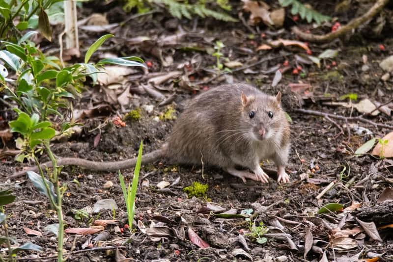 Những ký sinh trùng sống trên chuột