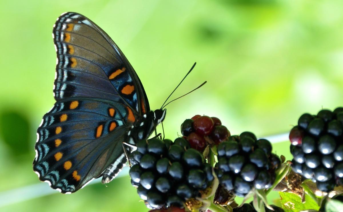 Bướm (Lepidoptera)