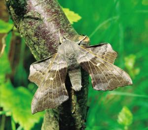bướm-đêm-là-gì