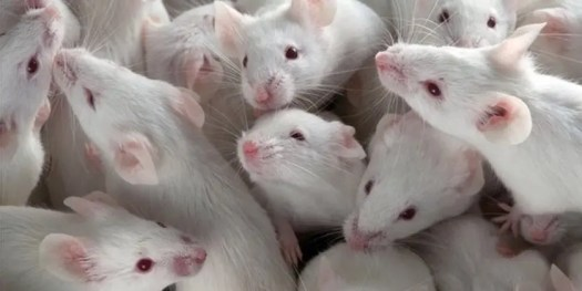 image of lab mice