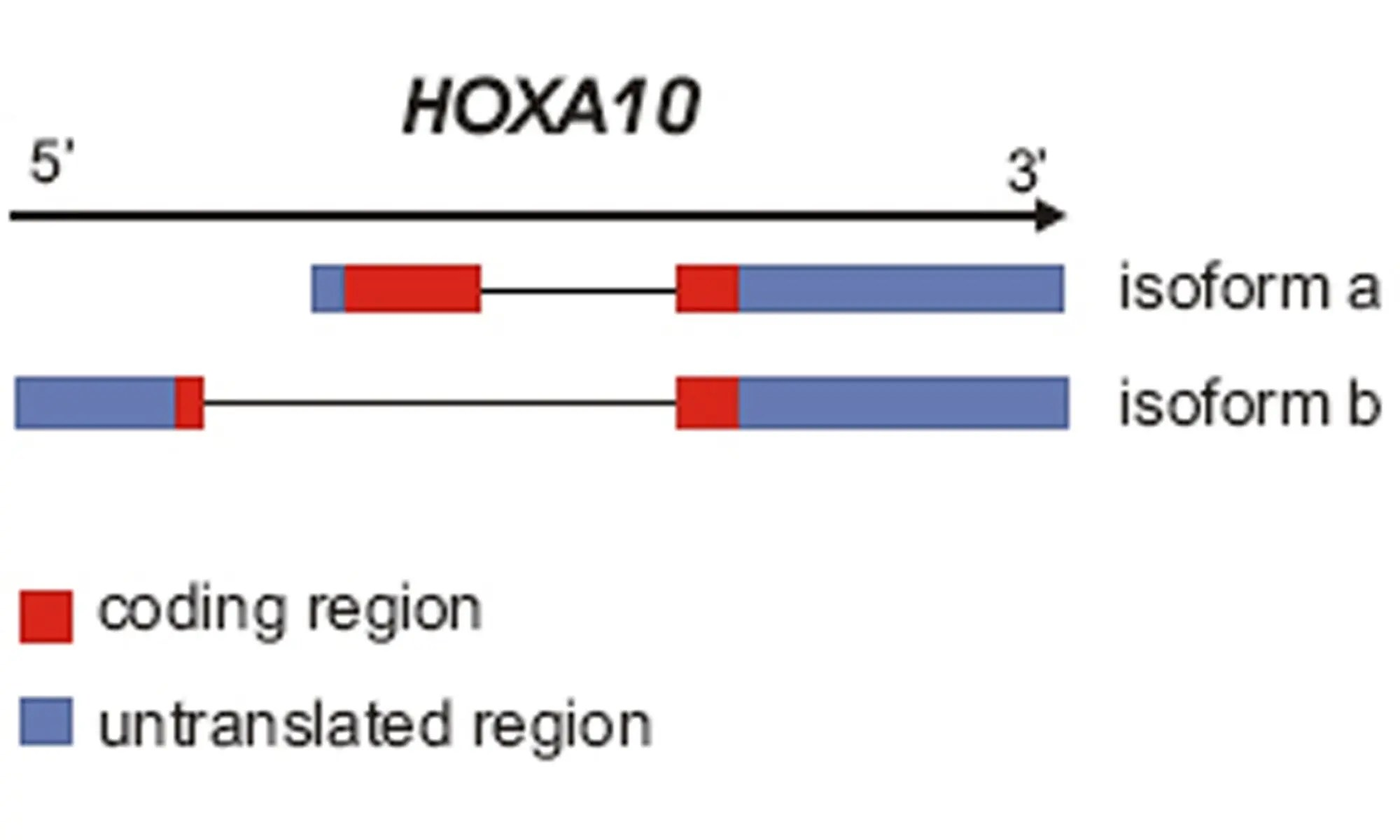representation of Hoxa-10-gene