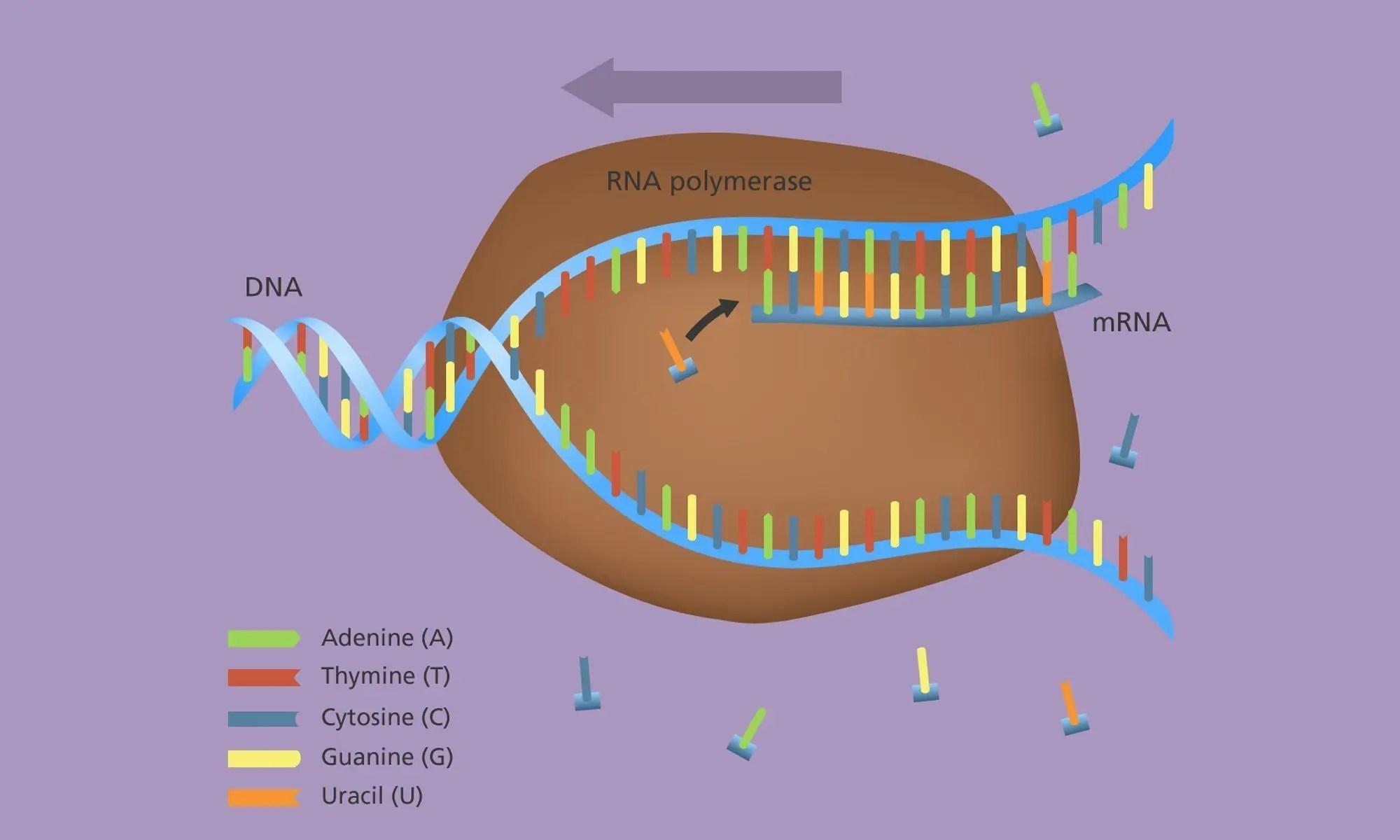 image of gene_expression_transcription