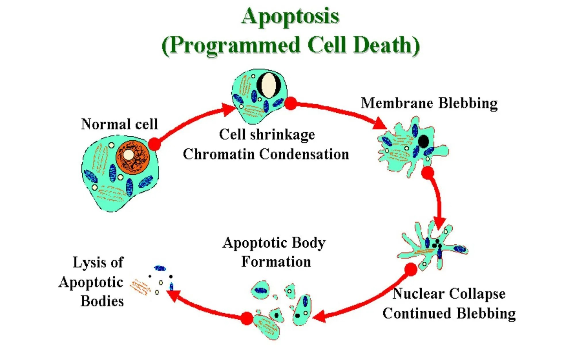 image of apoptosis
