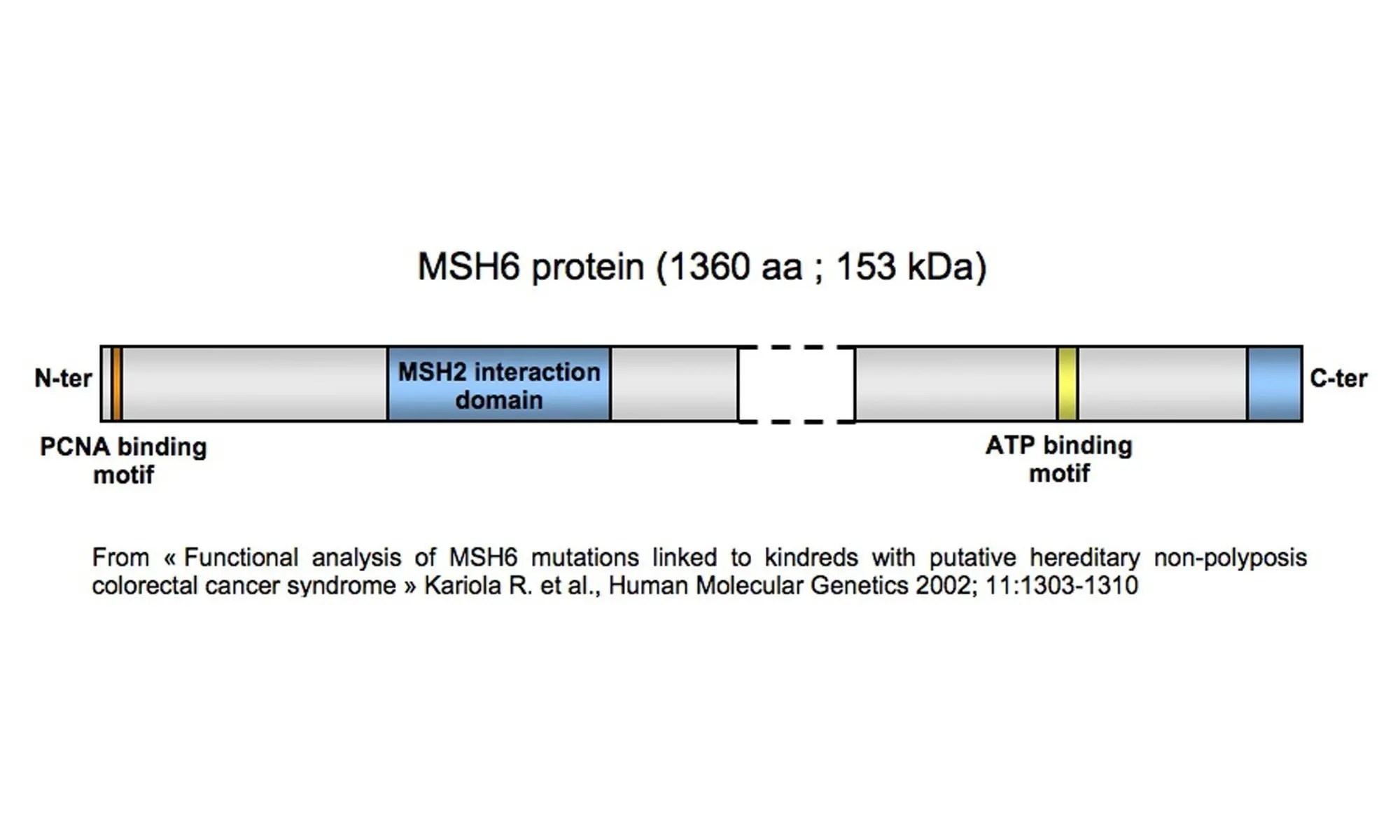 image of MSH6-protein