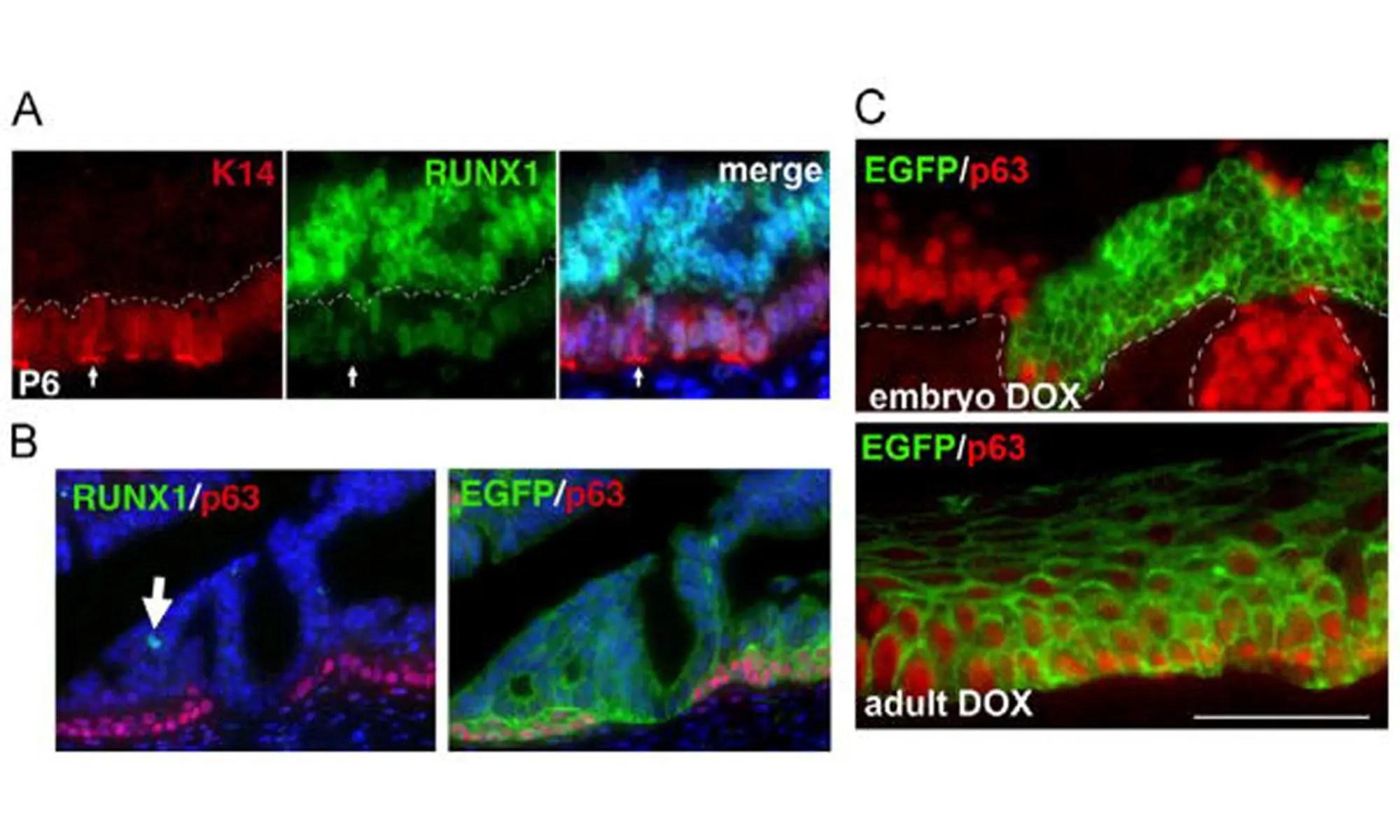 image of downregulation of RUNX1