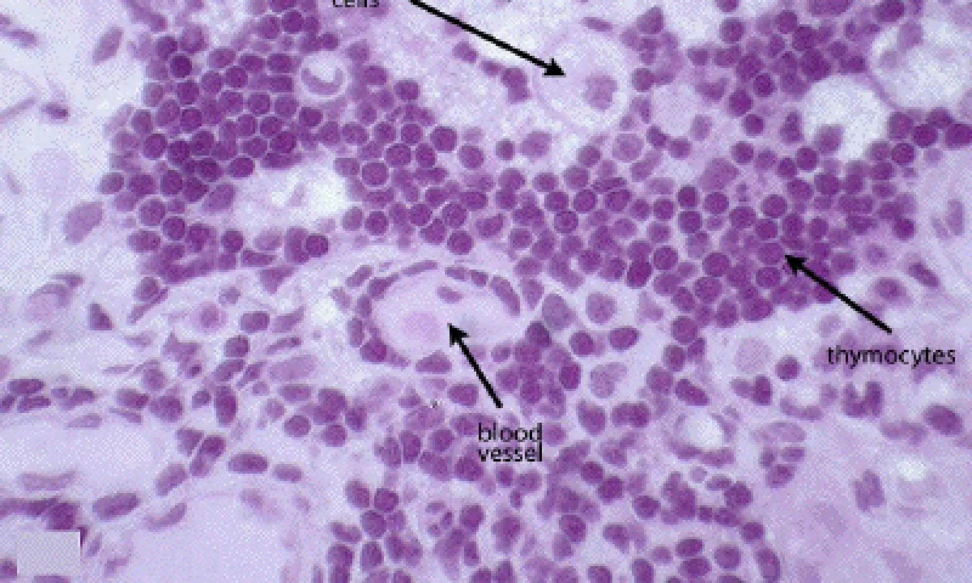 image of thymocytes