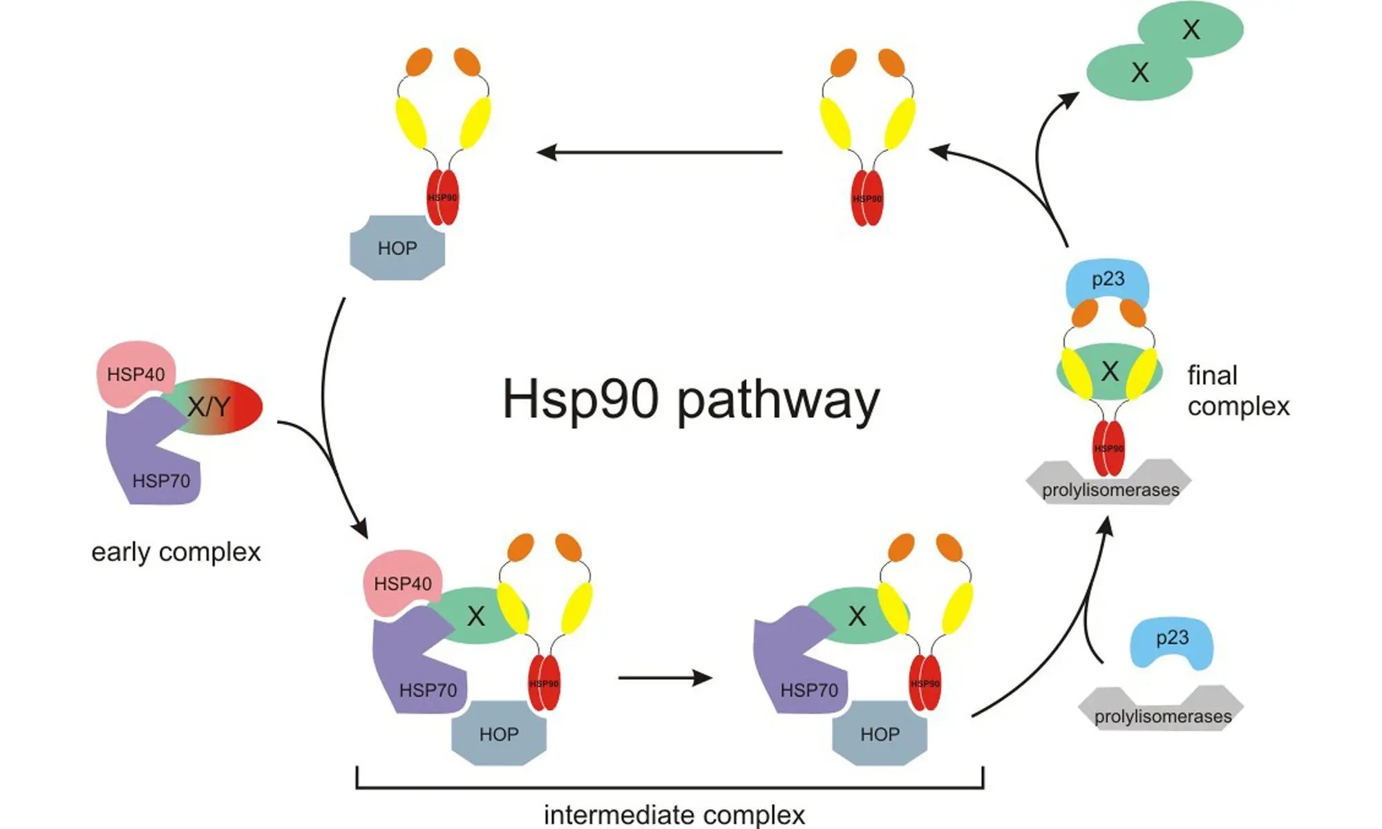 Hsp90 and environmental impacts on epigenetic states
