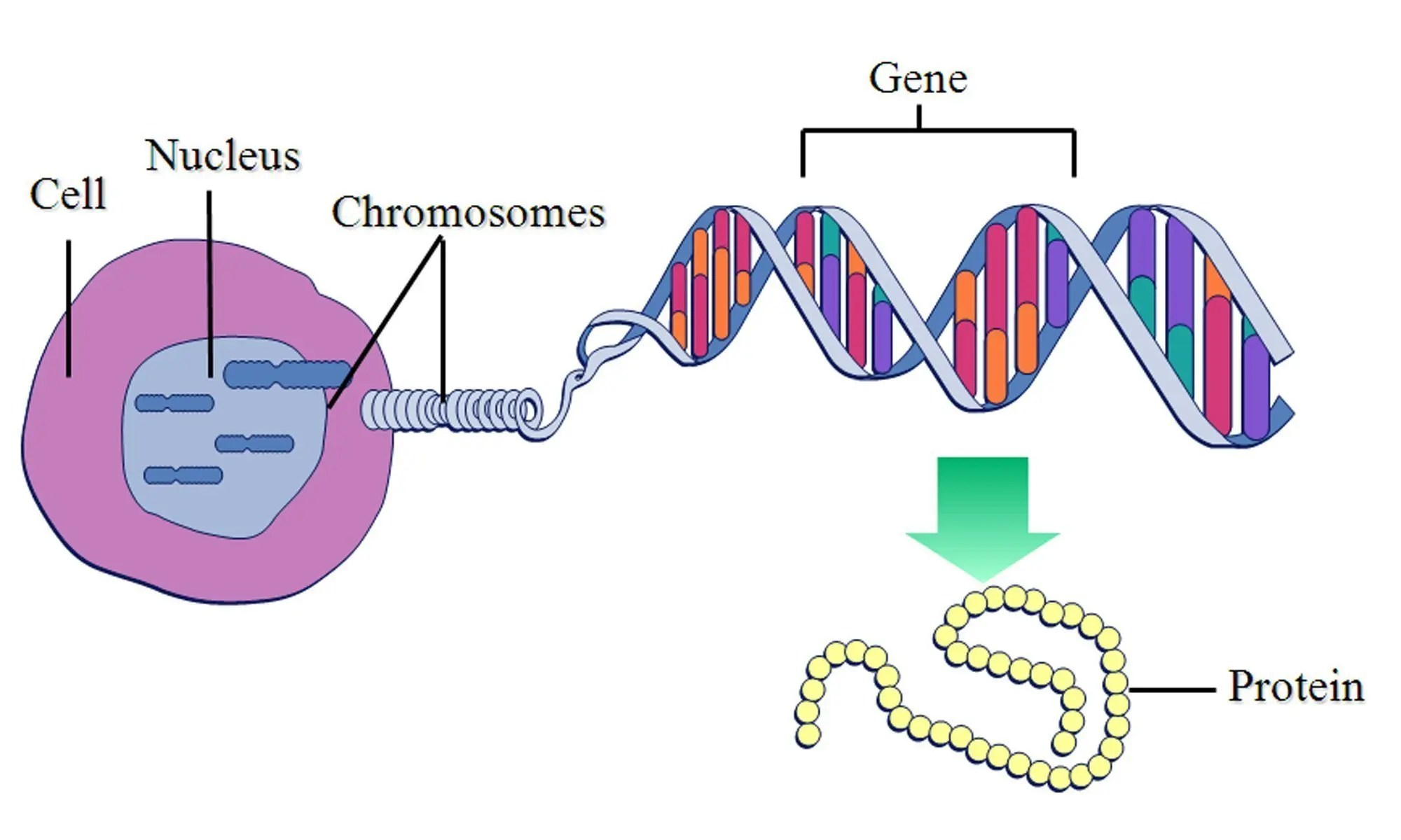 image of gene-chromosome