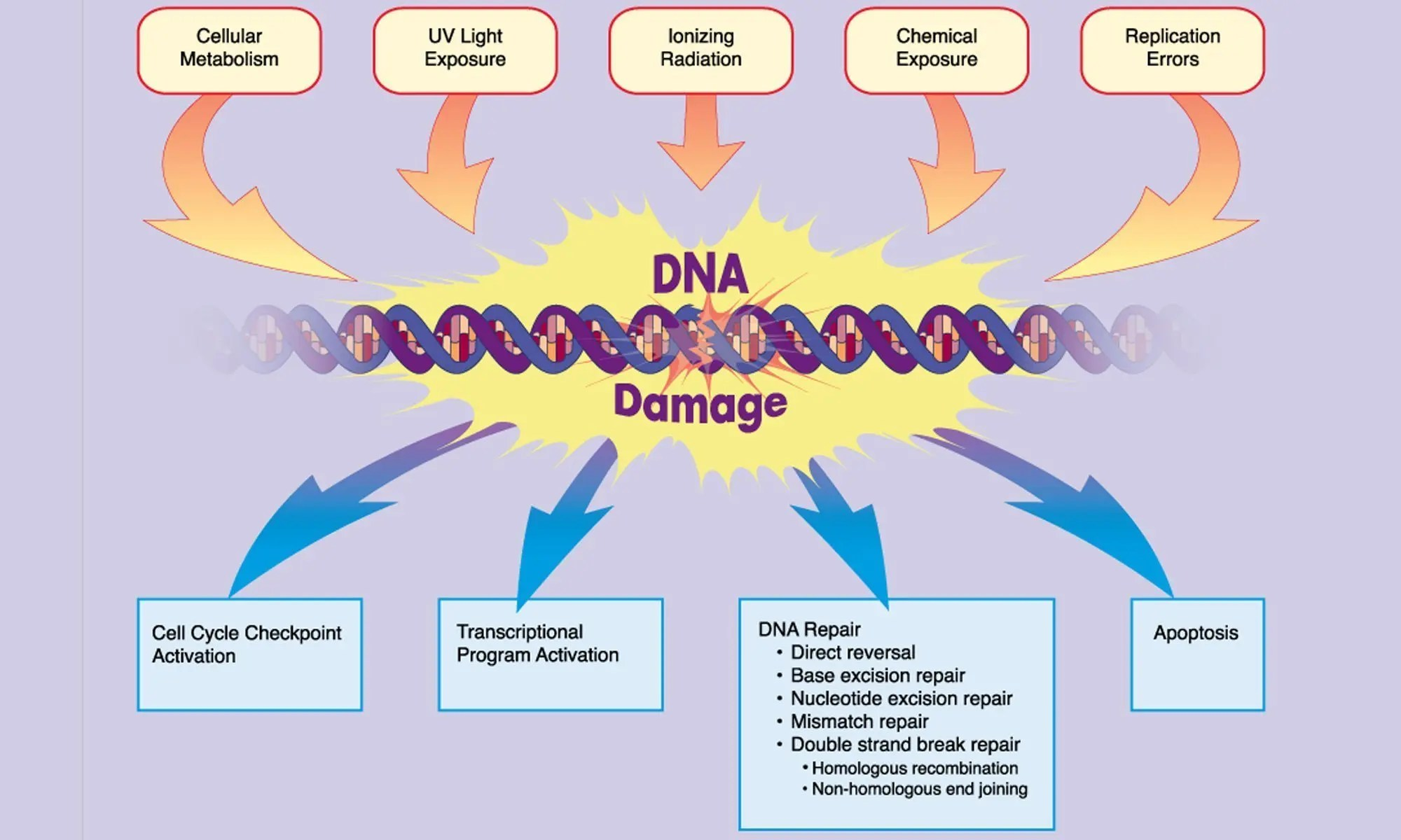 DES compromises the DNA repair system, accumulating lesions in the genome