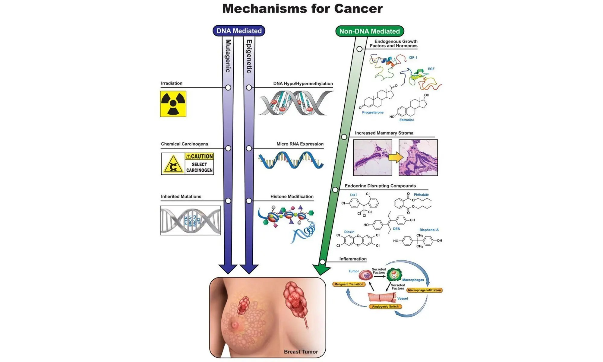image of Mechanisms involved in breast cancer etiology