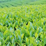 お茶ダイエットの効果【おすすめは緑茶・ルイボスティー?】