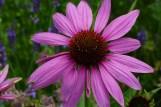 Sonnenhut-Echinacea