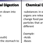 Difference-between-Mechanical-and-Chemical-Digestion