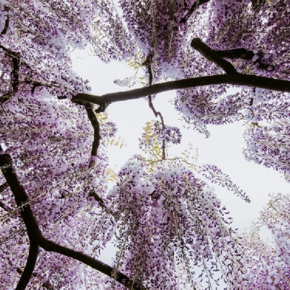 Purple tree blossoms