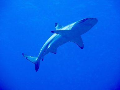 Un requin dans les eaux polynésienne