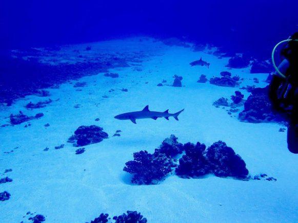 Un requin à l'entrée du mur de requin de Fakarava.