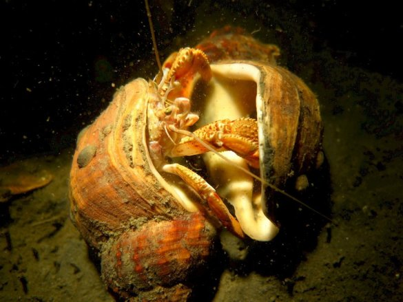 Un Bernard L'hermitte qui change de coquillage en mer du Nord