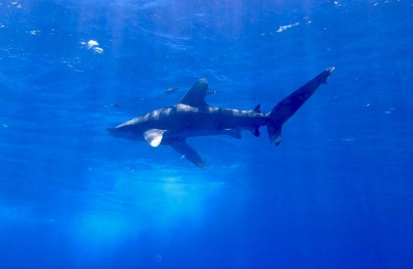 Faut-il vraiment avoir peur des requins ?