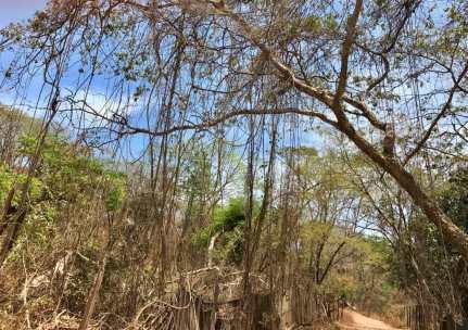 Des lianes pendant sur les arbres.