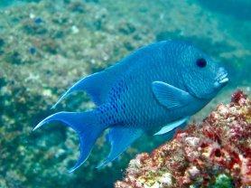 Un poisson tout bleu