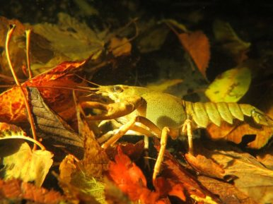 Ecrevisse dans des feuilles rouges