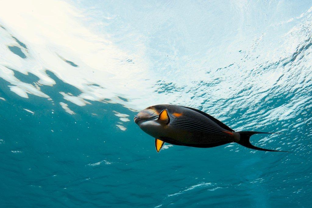 Le poisson chirurgien représente un danger