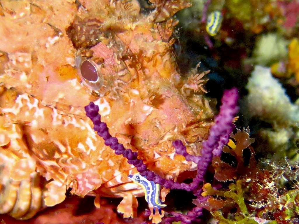 Une nudibranche accrochée sur une rascasse