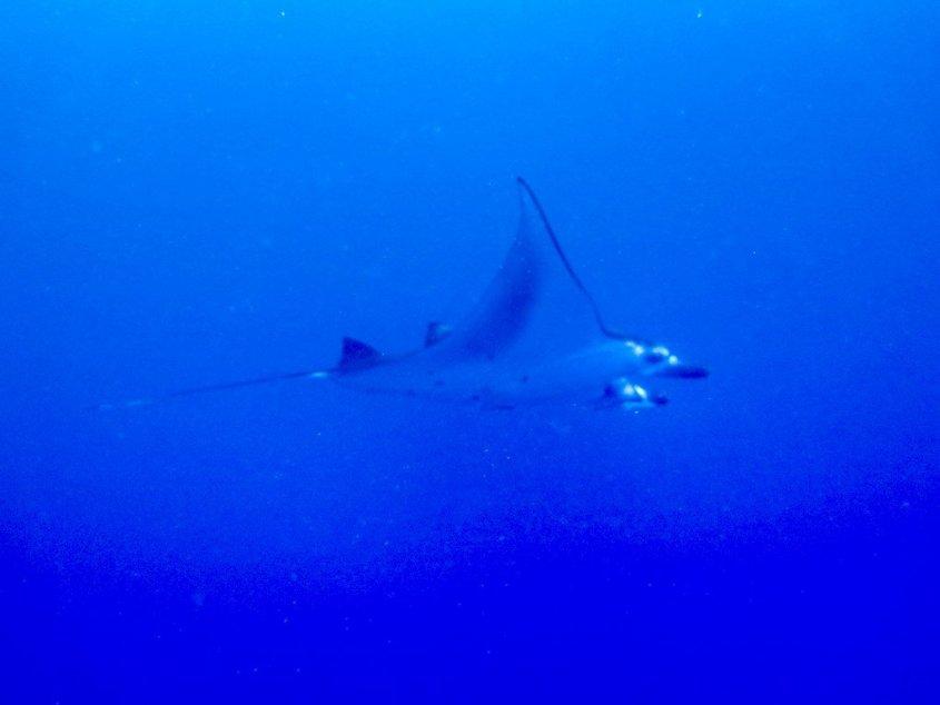 chance en plongée ; une raie manta évoluant dans les eaux bleues