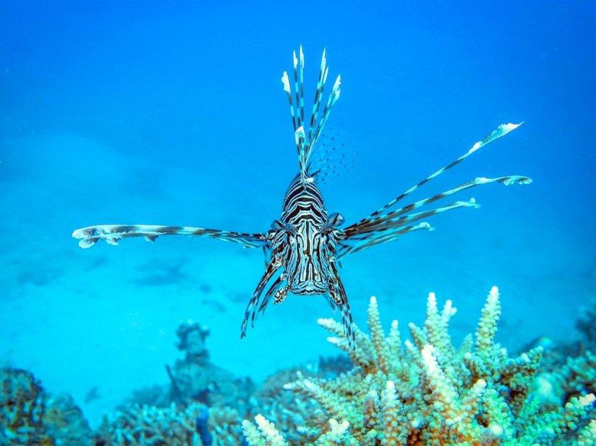 Un poisson lion dans la passe en S de Mayotte