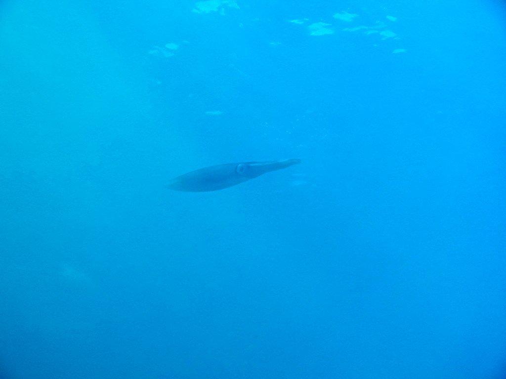 Un calamar aperçu lors d'une plongée dans la passe en S de Mayotte