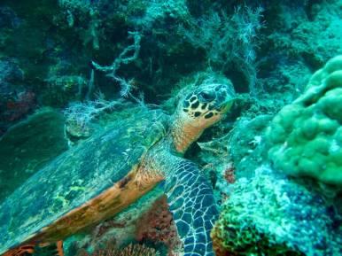 Une tortue mange des coraux sous l'eau sur le tombant des aviateurs