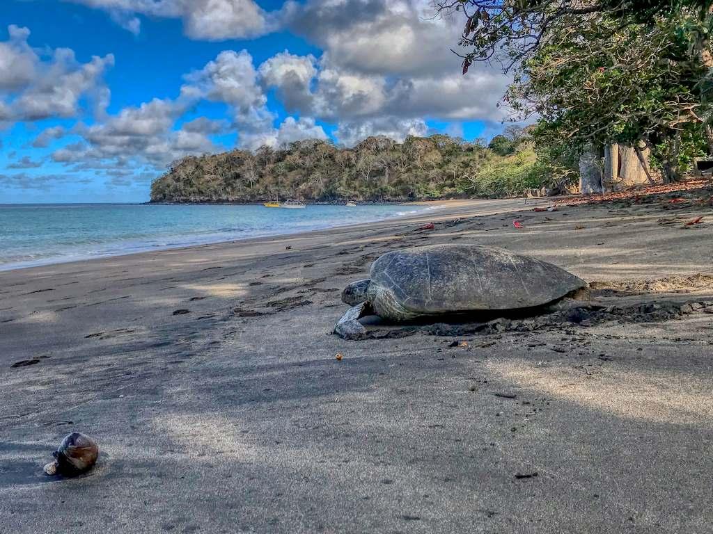 Une tortue tente de regagner la mer sur la plage de N'Gouja